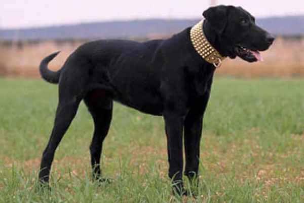 anatomía perro pastor mallorquín
