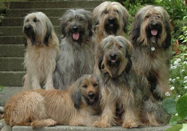 Origen raza gos d´atura català