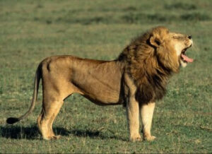 cómo es el rugido de un león