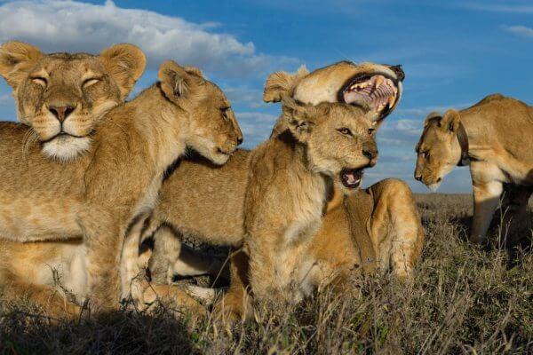 cómo se comportan los leones