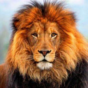cómo es la melena del león