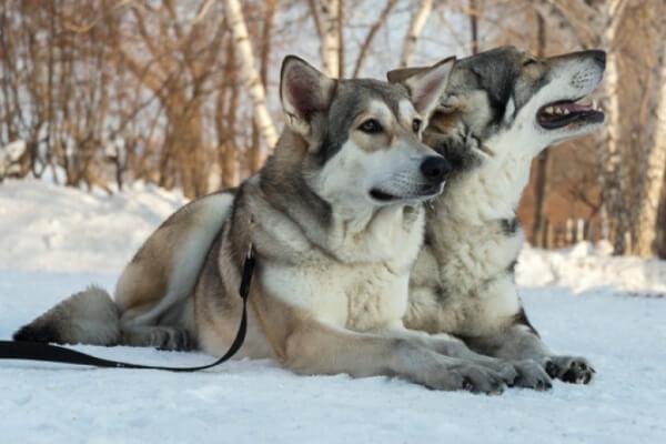 perro lobo de Saarloos comportamiento