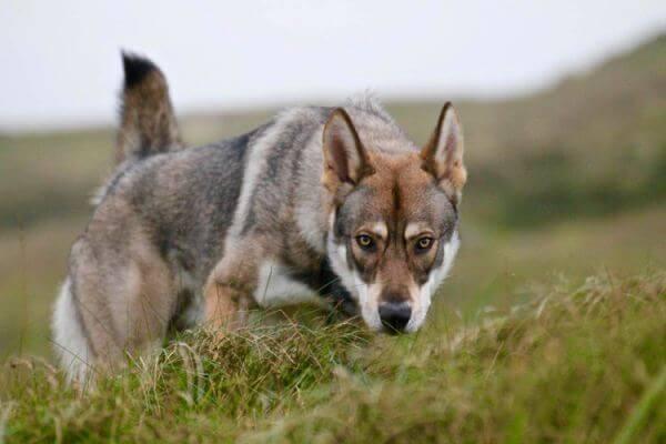 Raza perro lobo de saarlos