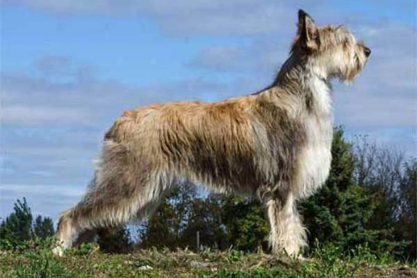 raza de perro Pastor de Picardía