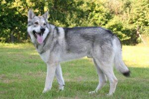 perro lobo de Saarloos descripción