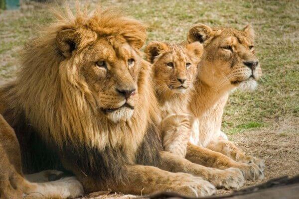 cómo nacen los leones