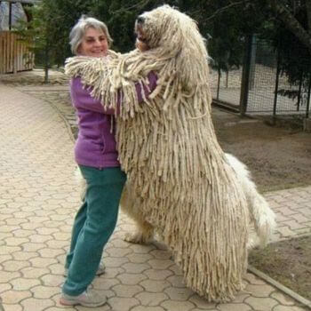 cuánto pesa perro komondor