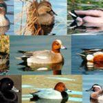 razas de patos
