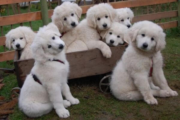 enfermedades perro cuvac