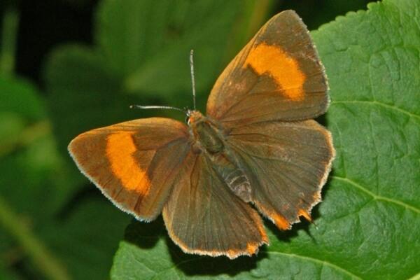 mariposa topacio descripción
