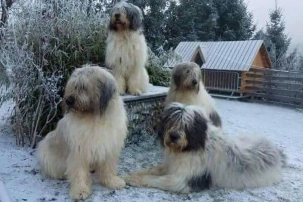 perro pastor rumano de Mioritza historia