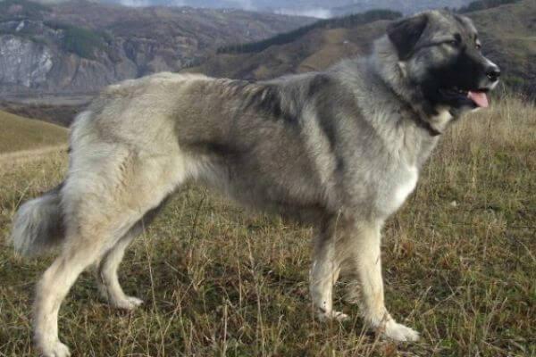 Origen de la raza pastor rumano de los cárpatos