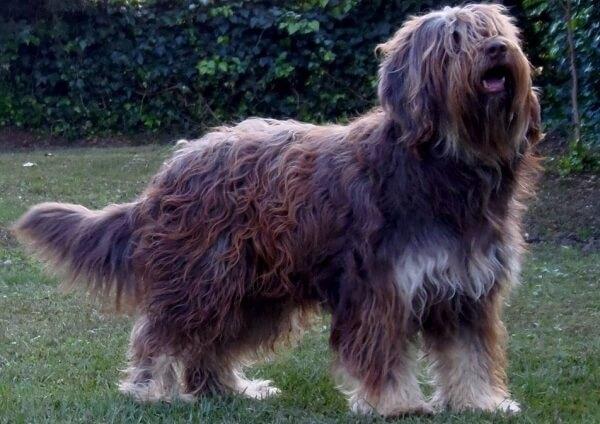 perro Serra de Aires historia