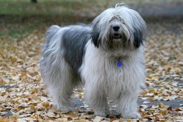 perro pastor polaco de la llanura peso y tamaño