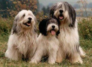 origen raza perro pastor polaco de la llanura