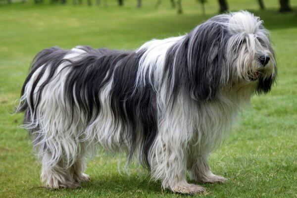 perro pastor polaco de la llanura origen