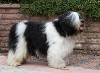 raza de perro pastor polaco de la llanura descripción