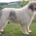 perro pastor rumano de Mioritza descripción
