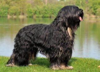 perro Serra de Aires descripción