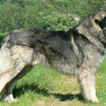 raza perro pastor rumano de los Cárpatos descripción