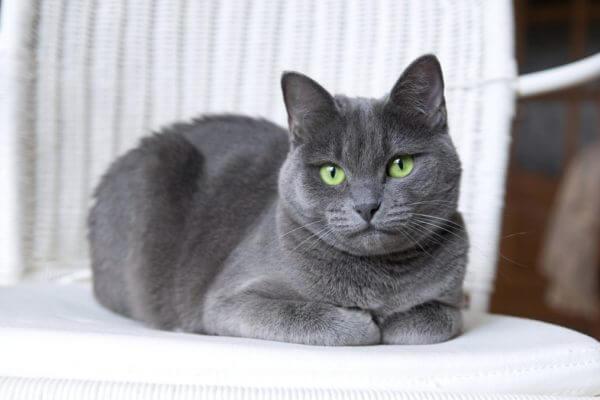 razas gatos con pelo corto o sin pelo