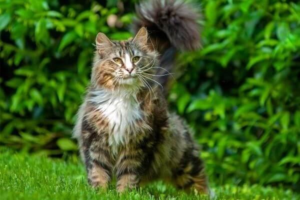 tipos de gato de pelo largo y semilargo
