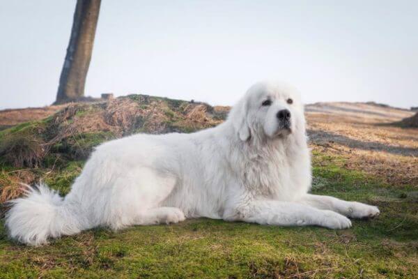 cómo es el carácter del perro pastor de Podhale