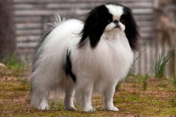 raza de perro chin características físicas