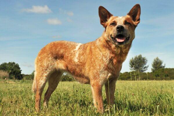 temperamento perro pastor ganadero australiano