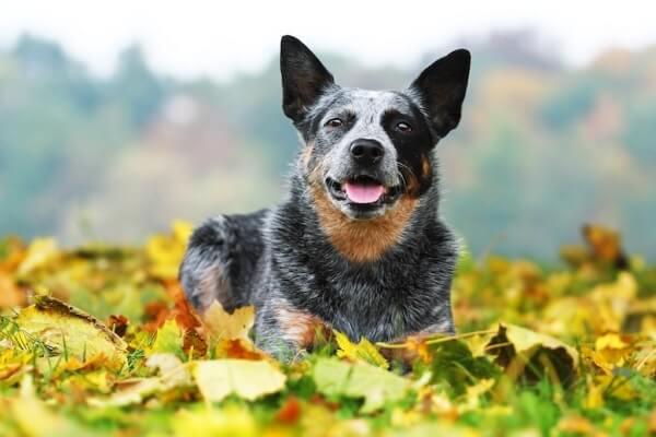 perro pastor ganadero australiano carácter