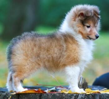 educación cachorro de Pastor de Shetland