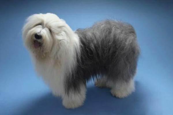 características físicas perro Bobtail