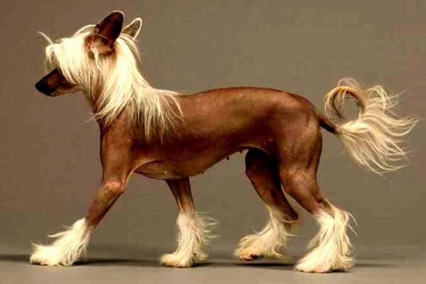 razas de perros sin pelo propiedades