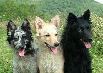 colores raza de perro mudi
