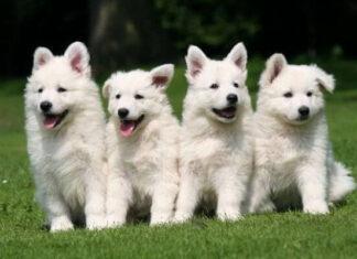 Origen perro pastor blanco suizo
