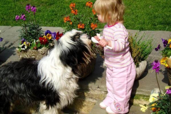 terrier tibetano comportamiento con niños