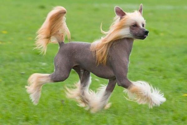 raza de perro crestado chino sin pelo