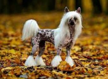 cepillado y baño perro crestado chino