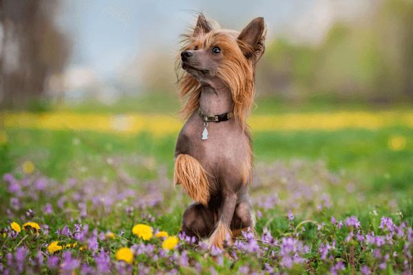 cómo es el carácter del perro crestado chino