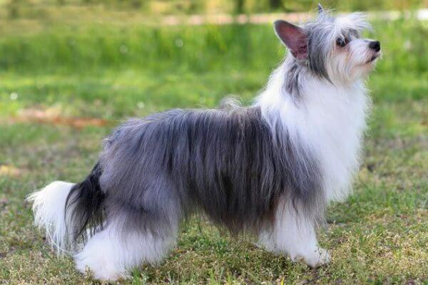 perro crestado chino de pelo largo