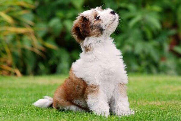 Origen raza Terrier Tibetano