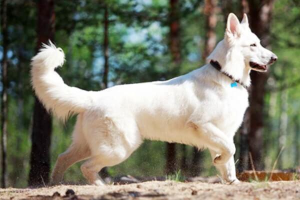 ficha técnica perro pastor blanco suizo