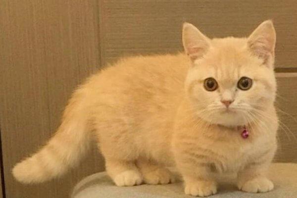 raza gato Munchkin historia