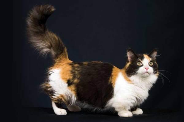 Gato Munchkin carácter