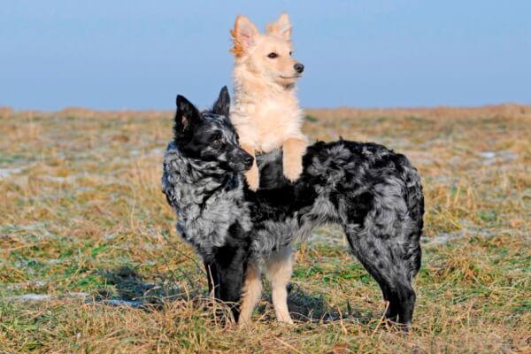 raza de perro mudi actitud