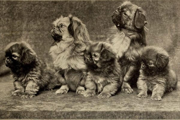 cuál es el origen del perro pekinés