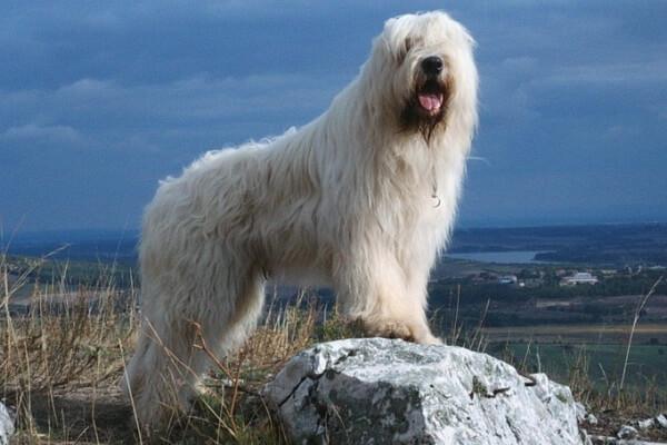 pastor de Rusia meridional características físicas