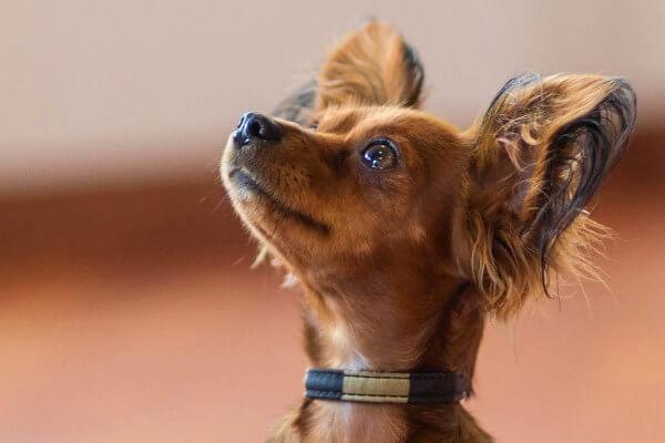 qué come pequeño perro pastor ruso
