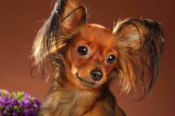 personalidad pequeño perro ruso