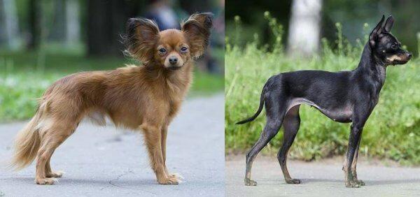 pequeño perro pastor características físicas
